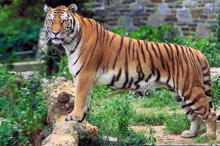 Capture the National Animal of India in Frame