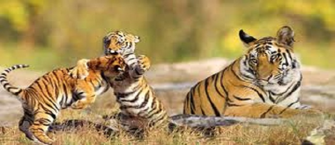 Pench and Tadoba Wildlife Sanctuaries